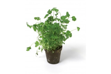 Biologische Koriander plant