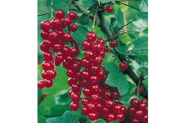 Biologische Rode Bessen (150 gram)