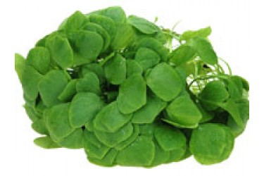 Biologische Winterpostelein (100 gram)
